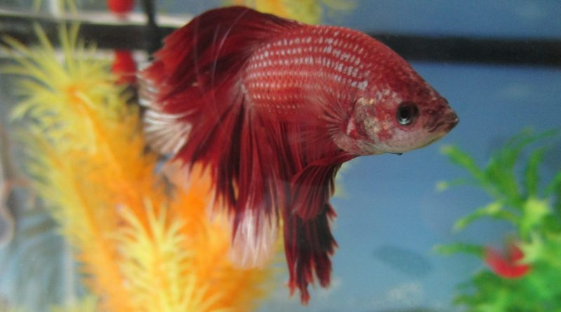 My son used the Law of Attraction to score a Betta fish.